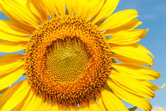 Close up Bloom Sunflowers Stock Photography