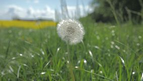 Close up of bloomed dandelion swinging in the wind under blue sky. With white clouds. Green grass nature background stock video footage