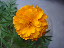 Close up of bloomed marigold. Picture of Close up of bloomed marigold Stock Photos