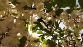Close-up blooming acacia, bug and sun stock video