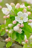Close up of blooming apple tree branch. With blooms with visible flower parts and flower buds on background of green leaves stock photos