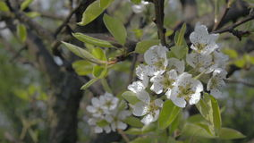 Close-up of blooming Apple-tree orchard spring. Close up of blooming Apple tree in spring orchard garden. Blossom apple-tree young buds white flowers. Camera stock video