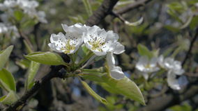 Close-up of blooming Apple-tree orchard spring stock video footage