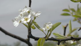 Close-up of blooming Apple-tree orchard spring. Close up of blooming Apple tree in spring orchard garden. Blossom apple-tree young buds white flowers. Camera stock video footage