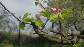 Close-up of blooming Apple-tree orchard spring stock video