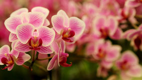 Close up Blooming beautiful Mini pink `Phalaenopsis` orchid in colorful flower garden Stock Photos