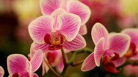 Close up Blooming beautiful Mini pink `Phalaenopsis` orchid in colorful flower garden Royalty Free Stock Photography