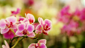 Close up Blooming beautiful Mini pink `Phalaenopsis` orchid in colorful flower garden Royalty Free Stock Photos
