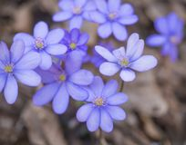 Close up blooming blue liverwort or kidneywort flower Anemone hepatica or Hepatica nobilis on dirt background, selective. Focus, copy space, spring floral stock photography