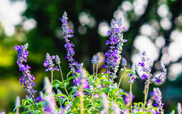 Close up of blooming blue Salvia flowers with shallow depth of f royalty free stock images