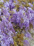 A close up of a blooming blue Wisteria Stock Images