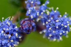 A close up of blooming Ceanothus flowers. royalty free stock photo