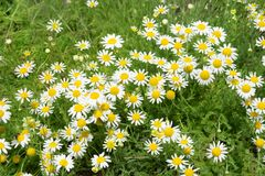 Close up of blooming chamomile field royalty free stock images