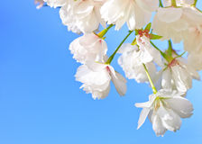 Close up of blooming cherry. Over blue Royalty Free Stock Photo