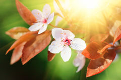 Close up of blooming cherry Royalty Free Stock Photos