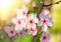 Close up of blooming cherry Royalty Free Stock Photography