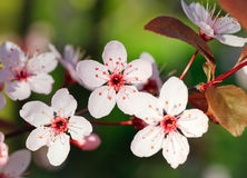 Close up of blooming cherry. Close up of spring blooming cherry Royalty Free Stock Photo