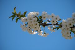 Close up of blooming cherry tree branch, selective focus, blue sky in the background. Nature wakes in spring. Details of blooming cherry tree branch, white royalty free stock photo
