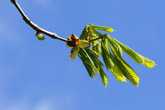 Close-up of a blooming chestnut against the sky Royalty Free Stock Images