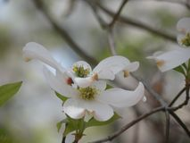 Close Up of a Blooming Dogwood Flower royalty free stock images