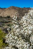 Close up of Blooming endemic bush. White flowers of Retama rhodorhizoides. National Park Teide, Tenerife, Canary Islands. Selective focus royalty free stock image