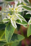 Close-up of blooming Euphorbia marginata. Close-up of blooming snow-on-the-mountain (Euphorbia marginata Royalty Free Stock Photo