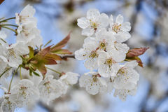 Close up of blooming flowers of cherry tree branch in spring time. Shallow depth of field. Cherry blossom detail on sunny day Royalty Free Stock Photos