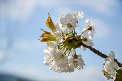 Close up of blooming flowers of cherry tree branch in spring time. Shallow depth of field. Cherry blossom detail on sunny day Stock Photos