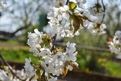 Close up of blooming flowers of cherry tree branch in spring time. Shallow depth of field. Cherry blossom detail on sunny day Royalty Free Stock Photo