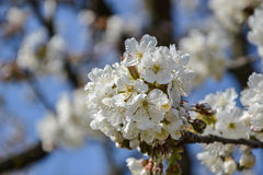 Close up of blooming flowers of cherry tree branch in spring time. Shallow depth of field. Cherry blossom detail on sunny day Stock Image