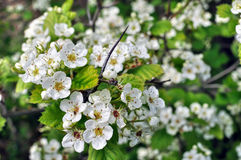 Close-up of  blooming hawthorn Stock Images