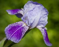 Close up of blooming iris Stock Photography