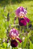 Close up of blooming Iris Stock Photos