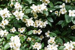 Close up blooming jasmine flower on bush in garden, selected focus. Close up blooming jasmine flower on bush in garden, selected focus royalty free stock image