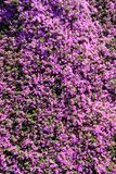 Close up of blooming lavender flowers. Lavender flowers background Stock Photos