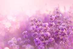 Close up of blooming lavender flowers. Lavender flowers background. Close up of blooming lavender flowers. Lavender flowers background Royalty Free Stock Photography