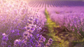 Close up of blooming lavender flowers under the rays of the going down sun. Royalty Free Stock Images
