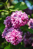 Close-up of blooming lilac branch at botanical garden Royalty Free Stock Photo