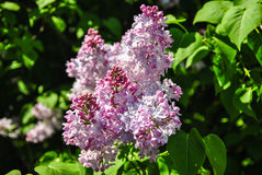 Close-up of blooming lilac branch at botanical garden Royalty Free Stock Photography
