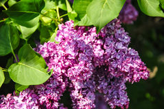 Close-up of blooming lilac branch at botanical garden Stock Photo