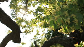 Close up of blooming linden, lime tree in bloom. Sunny summer day.  stock footage