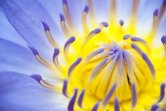 Close up blooming lotus Stock Photo