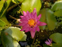 Pink lotus flower. stock photos