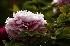 Luoyang peony flower. Close up of blooming Luoyang peony flower on green leafy bush in sunny garden stock photography