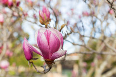Close-up of blooming magnolia Royalty Free Stock Photo