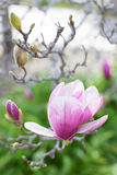 Close-up of blooming magnolia Royalty Free Stock Photography