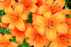 Close up of blooming orange lilies with water drops Royalty Free Stock Photography