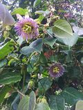 Blooming Wild Purple Passionflower Vines in the Forest. Close-up of a blooming passionflower vine, vivid violet color, surrounded by green leaves. The Passiflora stock images