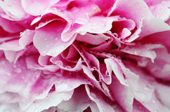 Close up of blooming peony Stock Photos