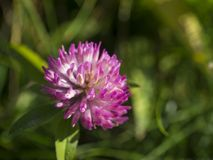 Close up blooming pink flower head of clover or shamrock on gree. N background Royalty Free Stock Photo